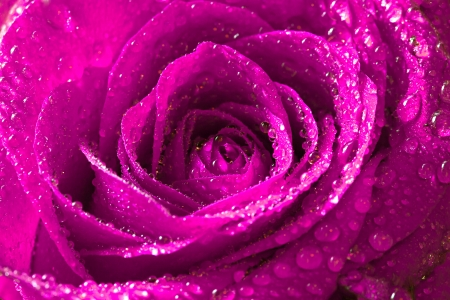 pink rose with water drops on petals photo