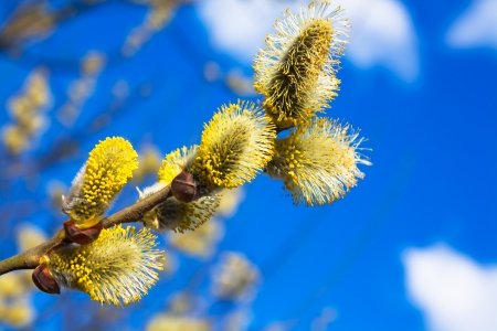 willow tree: branches of a willow blossom in the spring against the blue sky Stock Photo