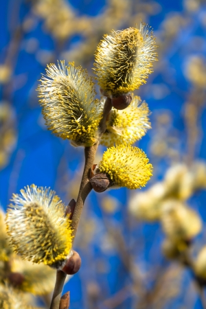 branches of a willow blossom in the spring against the blue sky photo
