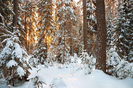 wintery day: beautiful winter landscape with sunset in the forest