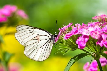 purple butterfly: the beautiful white butterfly sits on flowers