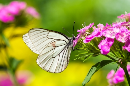the beautiful white butterfly sits on flowers