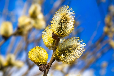 branches of a willow blossom in the spring against the blue sky Stock Photo