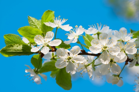 ablooming: agriculture blossoming of flowers of cherry on a tree  spring