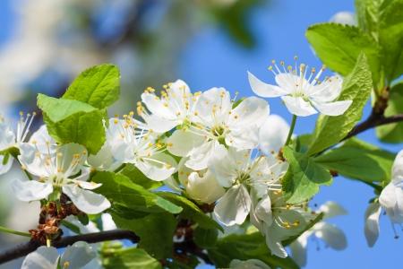 ablooming: agricoltura sbocciare dei fiori di ciliegio su un albero primavera