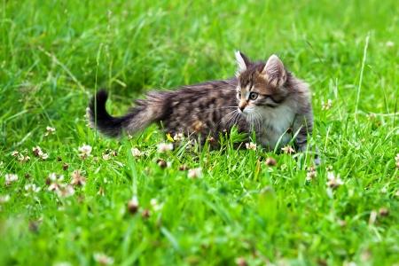 the fluffy beautiful kitten plays in a green grass