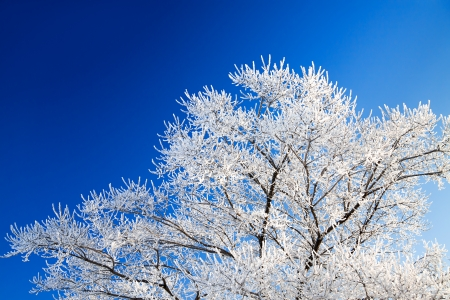 trees in the winter covered with snow against the blue sky