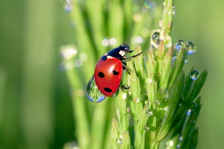 ladybug on a green grass with dew drops 版權商用圖片