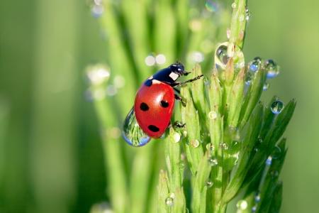 ladybug on a green grass with dew drops Stok Fotoğraf