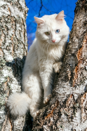 beautiful fluffy white cat with different eyes photo