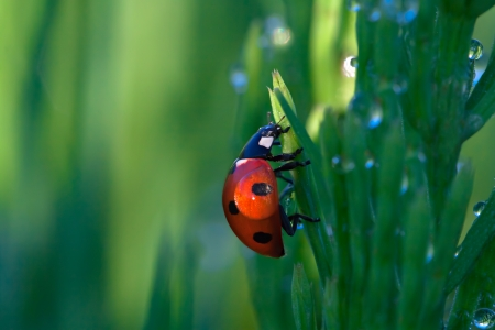 ladybug on a green grass with dew drops photo
