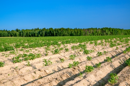 potato field: beautiful rural landscape with a potato field