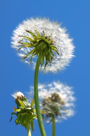 fluffy white dandelion the background  blue sky photo