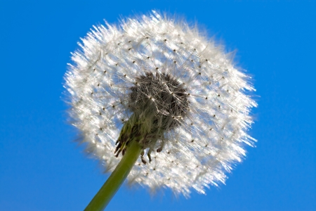 fluffy white dandelion against the blue sky photo