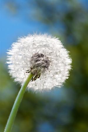 fluffy white dandelion against the blue sky photo