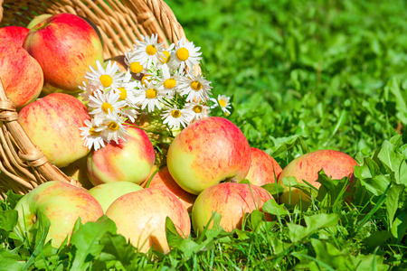 organic  apples in a garden on a green grass photo
