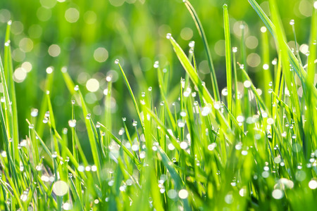 background from a green grass on a lawn with dew drops photo