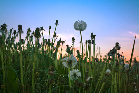 summer sunrise on a blossoming meadow with dandelions