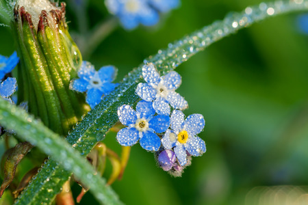 forget me not flowers on a summer meadow in dew drops photo