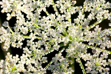 white flowers with drops of dew shining on the sun photo