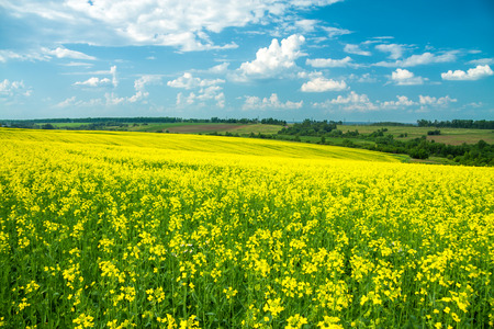 blooming field of yellow rapeseed against the blue sky photo