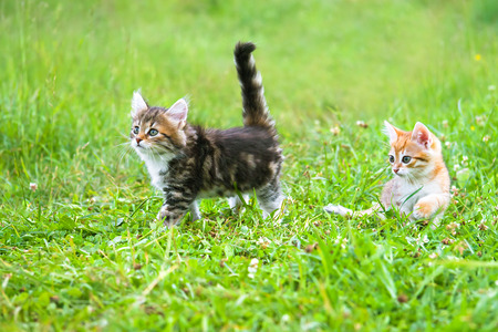 the fluffy beautiful kittens plays in a green grass