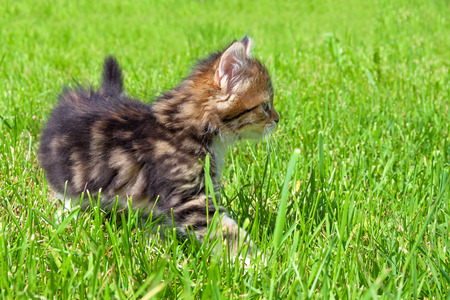 the fluffy beautiful kitten plays in a green grass photo