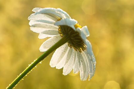 daisy on a meadow in dew drops photo