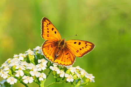 the beautiful butterfly sits on white flowers Stock Photo