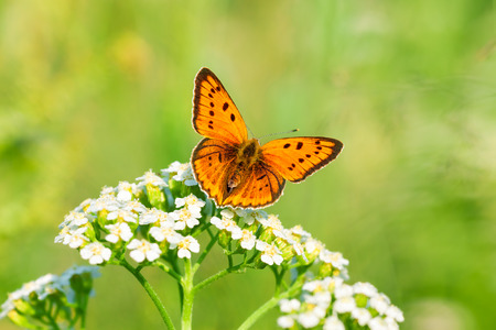 butterfly on flower: the beautiful butterfly sits on white flowers Stock Photo