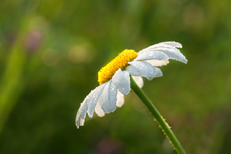 daisy on a meadow in dew drops photo