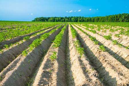 potato field: summer  rural landscape with a potato field