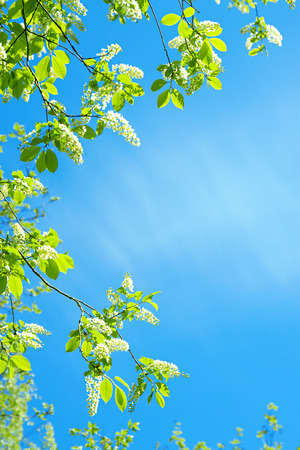 The branch of  blossom of bird cherry against the blue sky photo