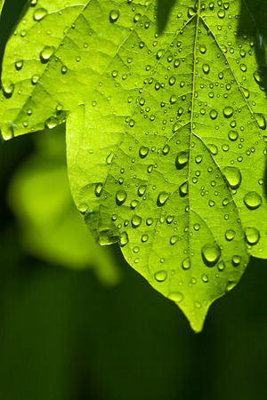 green leaf with water drops close up a macro photo