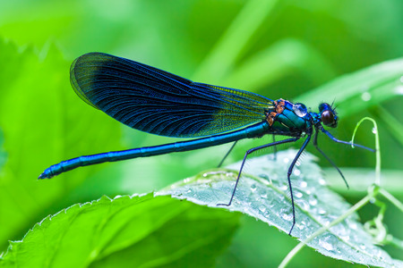 damselfly: the blue dragonfly sits on a grass on a meadow Stock Photo