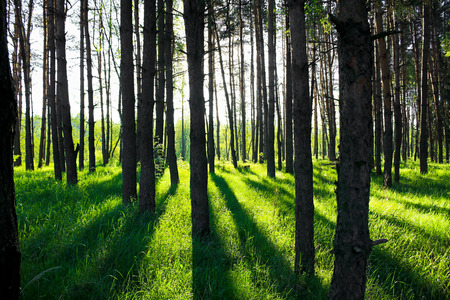 summer landscape with the pine forest in sun beams photo