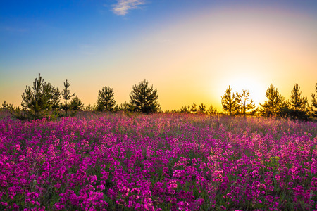 summer rural landscape with purple flowers on a meadow and sunrise photo