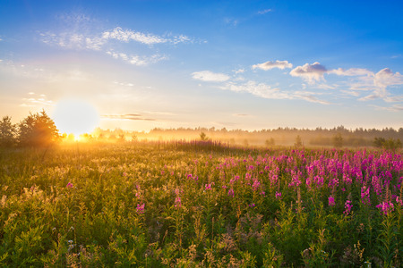summer  rural landscape with the sunrise, a blossoming meadow and fog 版權商用圖片