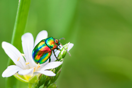 beautiful macro the colored bug sits on a   white flower photo