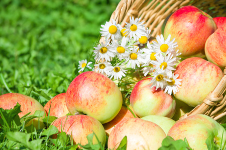 organic  red apples in a garden on green grass photo
