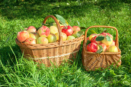 crop of red juicy apples in baskets,thanksgiving holiday photo