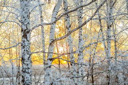 the winter landscape with a sunset in the forest, the sun shines through branches of the trees covered with snow