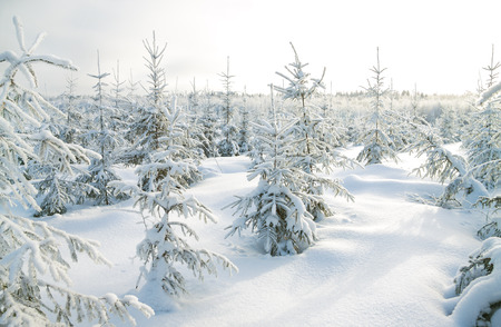 clear day in winter time: beautiful winter landscape with the forest