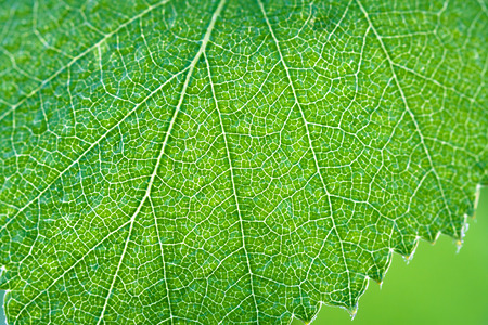 wet green leaf of a birch close up macro photo