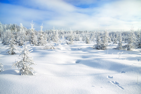 the  winter landscape with the forest  and traces of a hare on snow photo