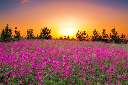 the summer  landscape with purple flowers on a meadow and  sunset photo