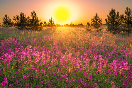 the summer  landscape with purple flowers on a meadow and  sunset Banque d'images