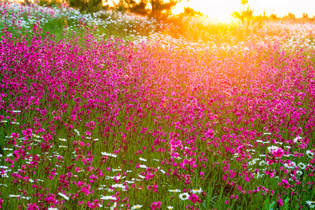 scenic landscapes: the summer  landscape with  flowers on a meadow and  sunset