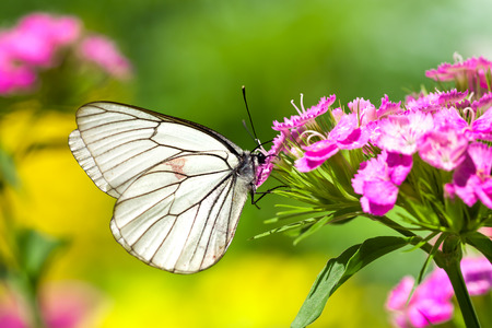 the beautiful white butterfly sits on flowers on meadow photo