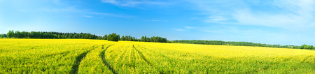 summer rural landscape a panorama with a yellow field and the blue sky. agriculture photo